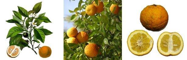 Pomarańcza gorzka